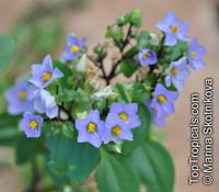 Exacum affine, Persian Violet