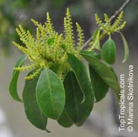 Excoecaria agallocha, Thillai, Milky Mangrove  Click to see full-size image