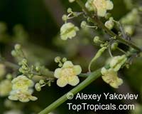 Fevillea cordifolia, Javillo, Antidote Caccoon  Click to see full-size image
