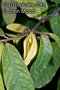 Friesodielsia desmoides - Wedding Sunshine Ylang Ylang (Dwarf tree)