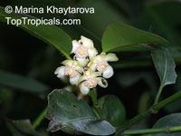 Garcinia hombroniana, Seashore Mangosteen, Luli  Click to see full-size image