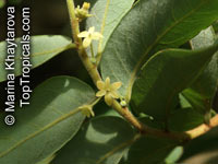 Glochidion obscurum, Dulang-Dulang  Click to see full-size image