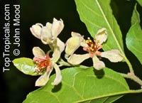 Grewia sp., Raisin Bush  Click to see full-size image