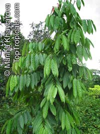 Hydnocarpus castanea, SetumpolClick to see full-size image