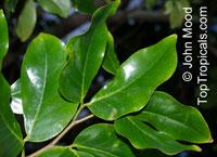 Hymenaea verrucosa, Copalier, Gum Copal  Click to see full-size image