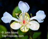 Hymenaea verrucosa, Copalier, Gum CopalClick to see full-size image