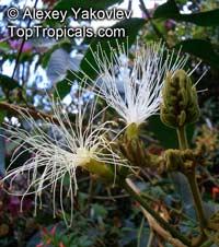 Inga nobilis, Guama Venezolano  Click to see full-size image