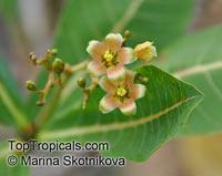Jatropha unicostata, Jatropha  Click to see full-size image