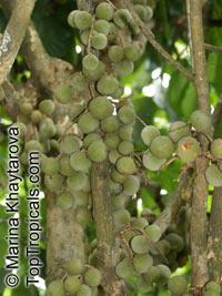 Lansium domesticum, Langsat, Longkong, Lanzones  Click to see full-size image