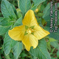 Ludwigia peruviana 	, Primrose Willow
