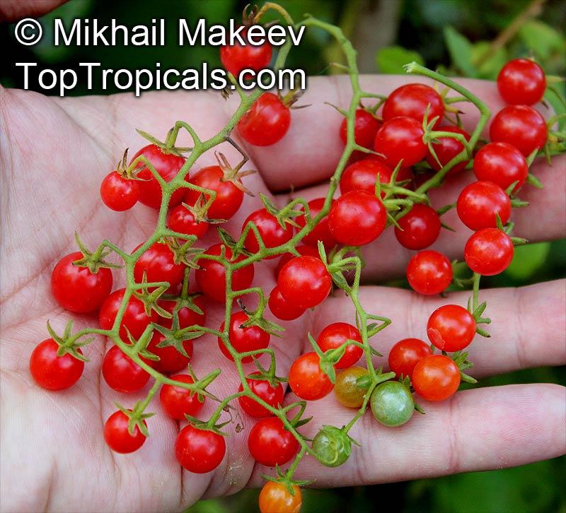 Solanum pimpinellifoli...