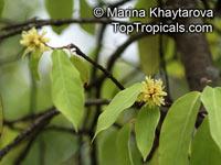 Maingaya malayana, Penang Hazel   Click to see full-size image