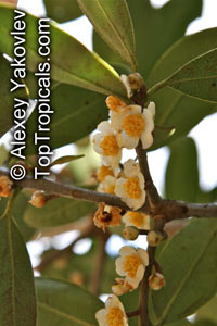 Mammea americana, Mammee Apple, Abricodo Para  Click to see full-size image