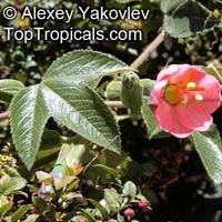 Passiflora mollissima, Passiflora tarminania, Banana Passionfruit, Taxo, Curuba  Click to see full-size image