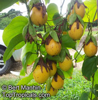 Passiflora nitida, Bell Apple, Maracuja SuspiroClick to see full-size image