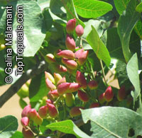 Pistacia vera, PistachioClick to see full-size image