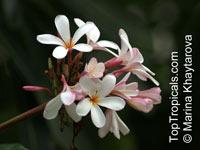 Plumeria obtusa, Singapore Plumeria  Click to see full-size image