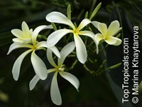 Plumeria obtusa - Yellow Dwarf, grafted  Click to see full-size image