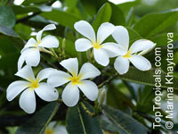Plumeria Alba Dwarf (Singapore White), grafted  Click to see full-size image