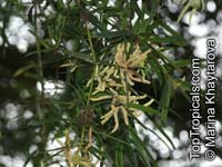 Podocarpus polystachyus, Poly-spiked Podocarp, Sea Teak  Click to see full-size image