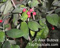 Psychotria kirkii , Psychotria  Click to see full-size image