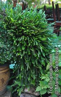 Pyrrosia lanceolata, Acrostichum lanceolatum, Pyrrosia  Click to see full-size image
