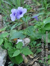 Ruellia tuberosa, Minnieroot, WaterkanonClick to see full-size image