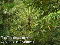 Schefflera sp., Schefflera, Brassaia, Dizygotheca, HeptapleurumClick to see full-size image