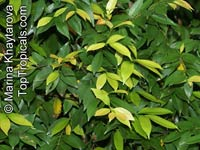 Syzygium myrtifolium, Eugenia oleina, Eugenia myrtifolia, Syzygium campanulatum, Wild Cinnamon, Australian Brush-Cherry, Kelat Oil, Kelat Paya, Red Lip  Click to see full-size image