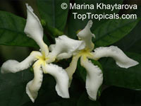 Tabernaemontana africana, Samoan Gardenia  Click to see full-size image