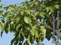 Tabebuia riparia, White Tabebuia  Click to see full-size image