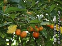 Tabernaemontana macrocarpa, Tabernaemontana  Click to see full-size image