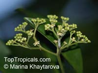Tristaniopsis whiteana, River Tristania, Pelawan  Click to see full-size image