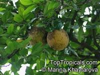 Xanthophyllum obscurum, Banisterodes insigne, Banisterodes obscurum, Xanthophyllum insigne, Xanthophyllum scortechinii, MerbatuClick to see full-size image
