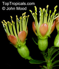 Xanthostemon aurantiacus, XanthostemonClick to see full-size image