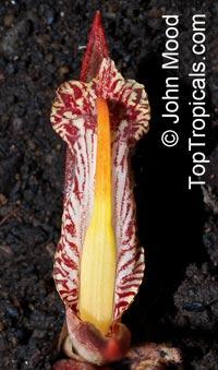 Zingiber rubens, Bengal Ginger Click to see full-size image