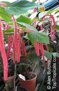 Acalypha hispida, Cat Tail, Chenille Plant, Red Hot Cattail, Foxtail, Red Hot Poker