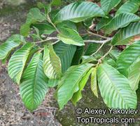 Annona purpurea, Soncoya, Toreta, Ilama, Cabeza de NegroClick to see full-size image