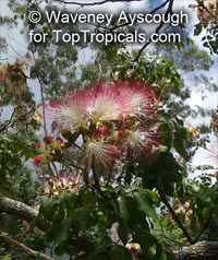 Archidendron grandiflorum, Pithecellobium grandiflorum, Pink Laceflower  Click to see full-size image