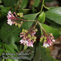 Ardisia sp., ArdisiaClick to see full-size image