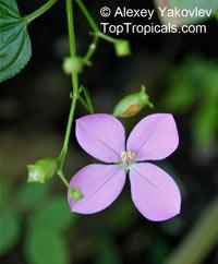 Arthrostemma ciliatum, Pinkfringe, Arthrostemma  Click to see full-size image