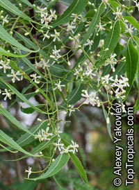 Azadirachta indica, Antelaea azadirachta, Neem tree, Nim, Margosa Tree, Vepa, Nimbay, Yepa, Pichumarda  Click to see full-size image