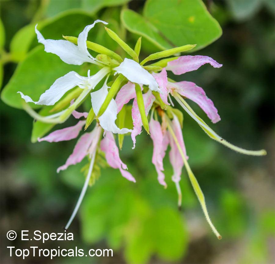 Bauhinia_mexicana172ESpezia.jpg