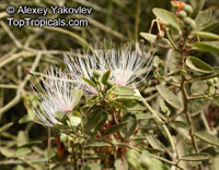 Capparis tomentosa, Woolly Caper-bush  Click to see full-size image