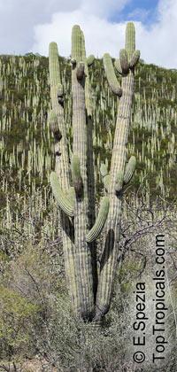 Carnegiea gigantea, Saguaro  Click to see full-size image