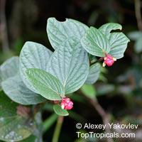 Cavendishia sp., Cavendishia  Click to see full-size image