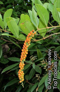 Citharexylum caudatum, Juniper Berry, Fiddlewood