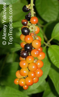 Citharexylum caudatum, Juniper Berry, Fiddlewood  Click to see full-size image