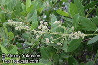 Conocarpus erectus, Button Mangrove, Florida Buttonwood  Click to see full-size image