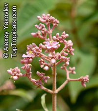 Conostegia xalapensis, Canallito  Click to see full-size image